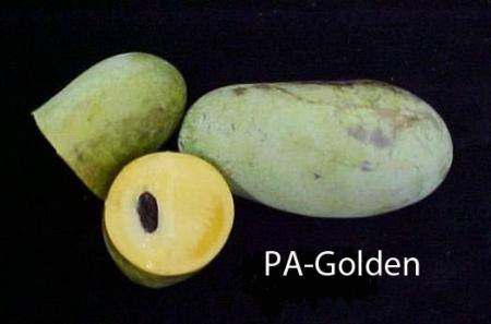 PA Golden Pawpaw Seed (5 seeds)