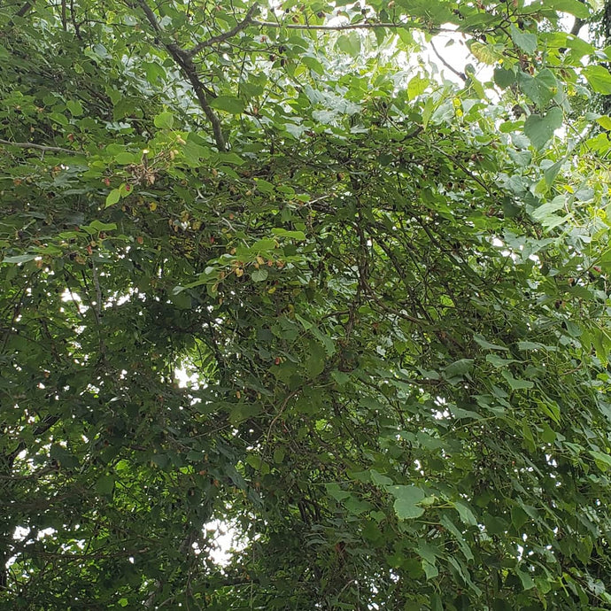 Midway Everbearing Mulberry 2'-3' (Pick Up Only)
