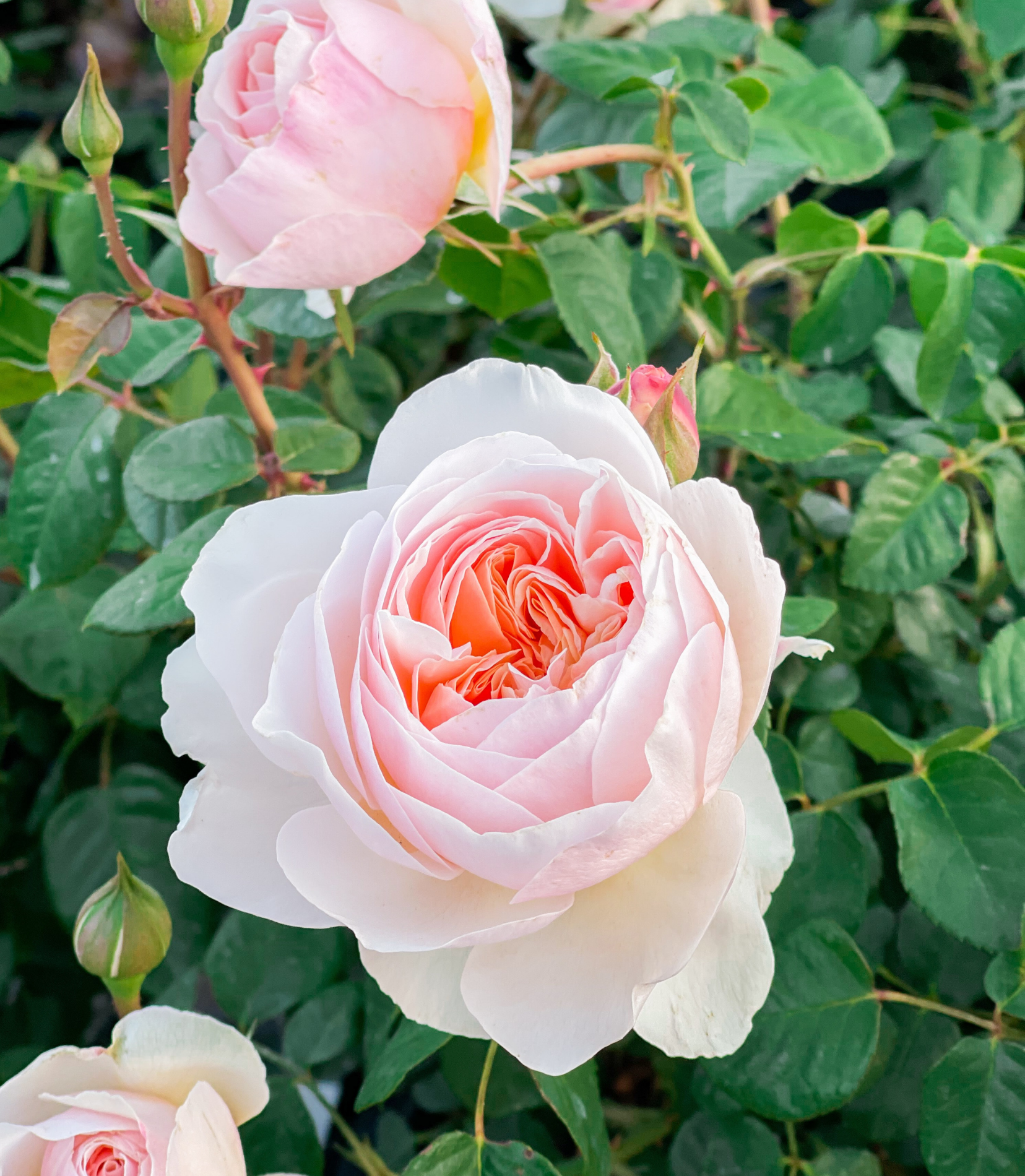 Planting: How we get our roses off to a great start (with our secret ingredient!)