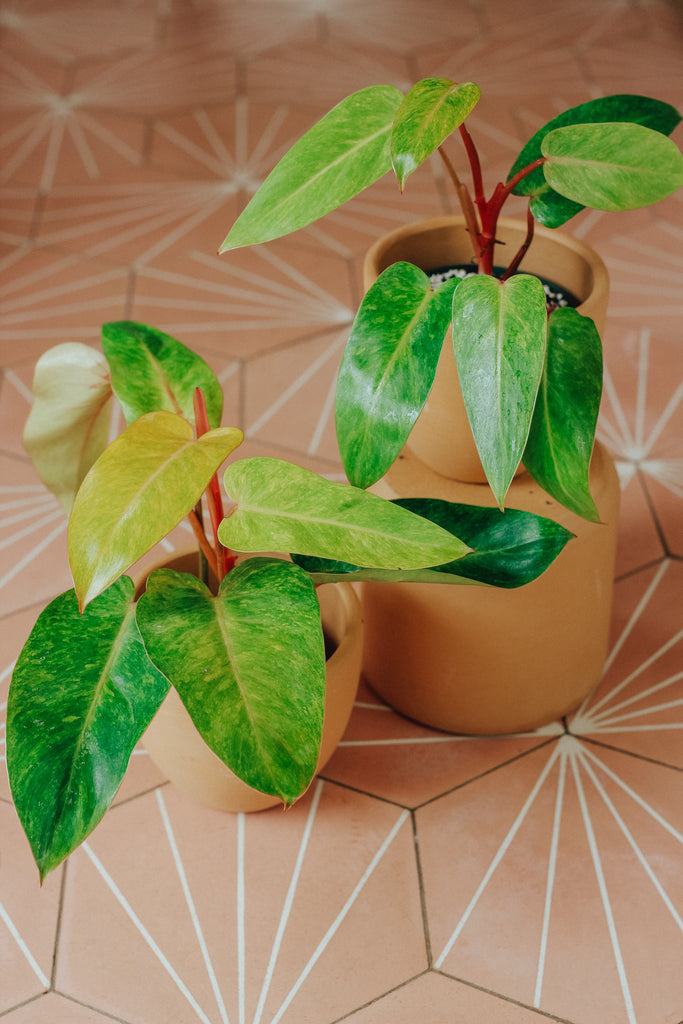 Philodendron 'Painted Lady'