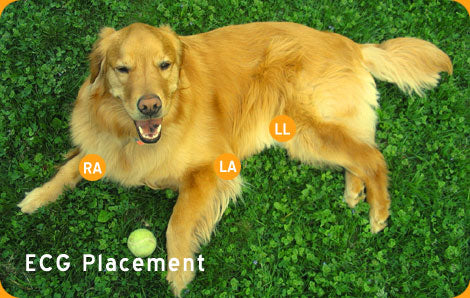 ECG Placement on Dog