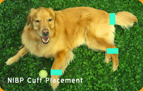 Veterinary Blood Pressure Cuff Placement