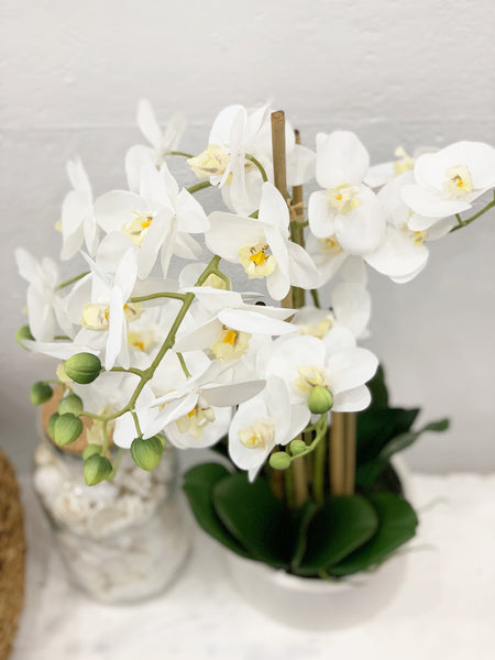 Rogue - Butterfly Orchid Stone Pot