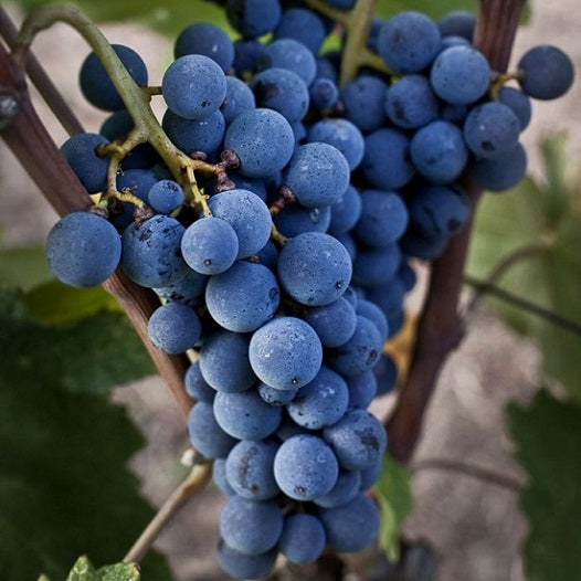 Xinomavro grape