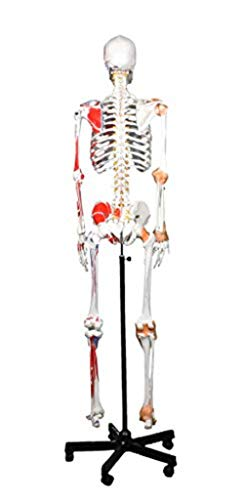 "Walter Products B10215 Human Skeleton Model with Muscles and Ligaments, Full Size 67"" (170 cm)"