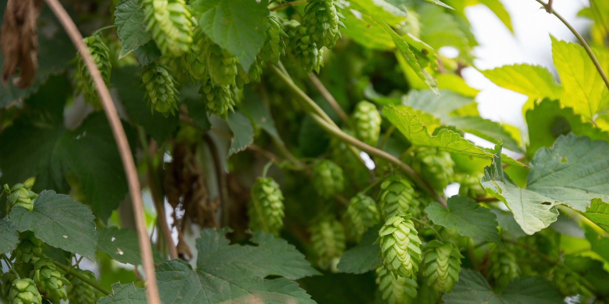British Columbia Hops