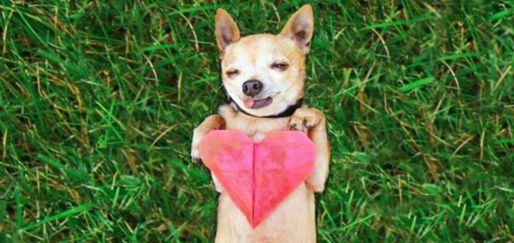 Cute tan Chihuahua laying on grass with tongue sticking out holding red heart