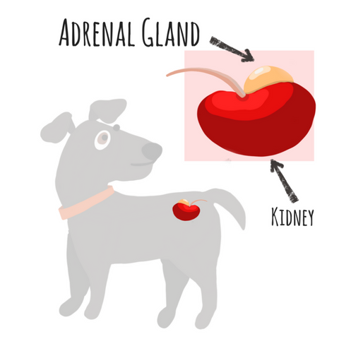 adrenal gland in dogs