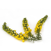Mahonia Grape