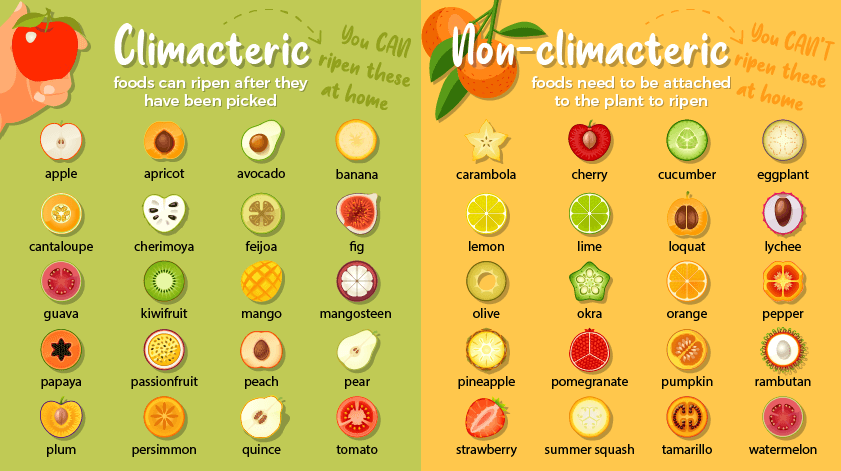 Compares climacteric fruits (ones that can ripen after they are picked) with non-climacteric fruits (which need to be attached to the plant to ripen).