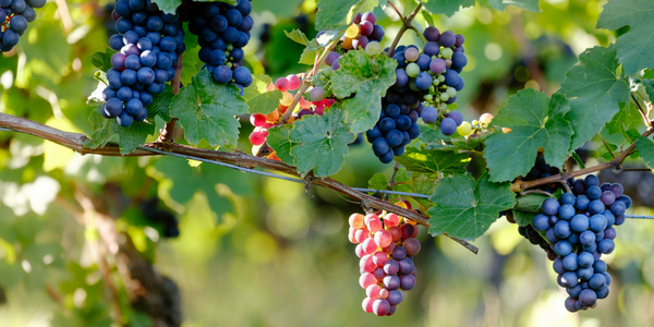 Have You Ever Wondered If You Could Grow Wine Producing Grapes In