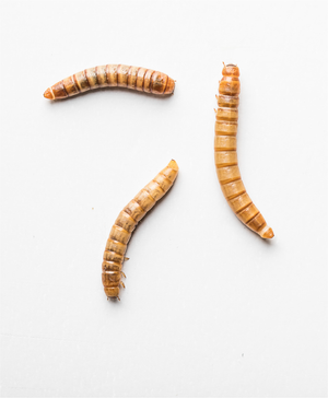 Why eating insects is good for you