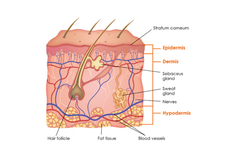 bright body skin anatomy and physiology