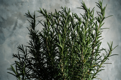 Bright Body Rosemary Essential Oil