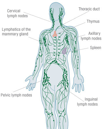 Lymphatic System Bright Body