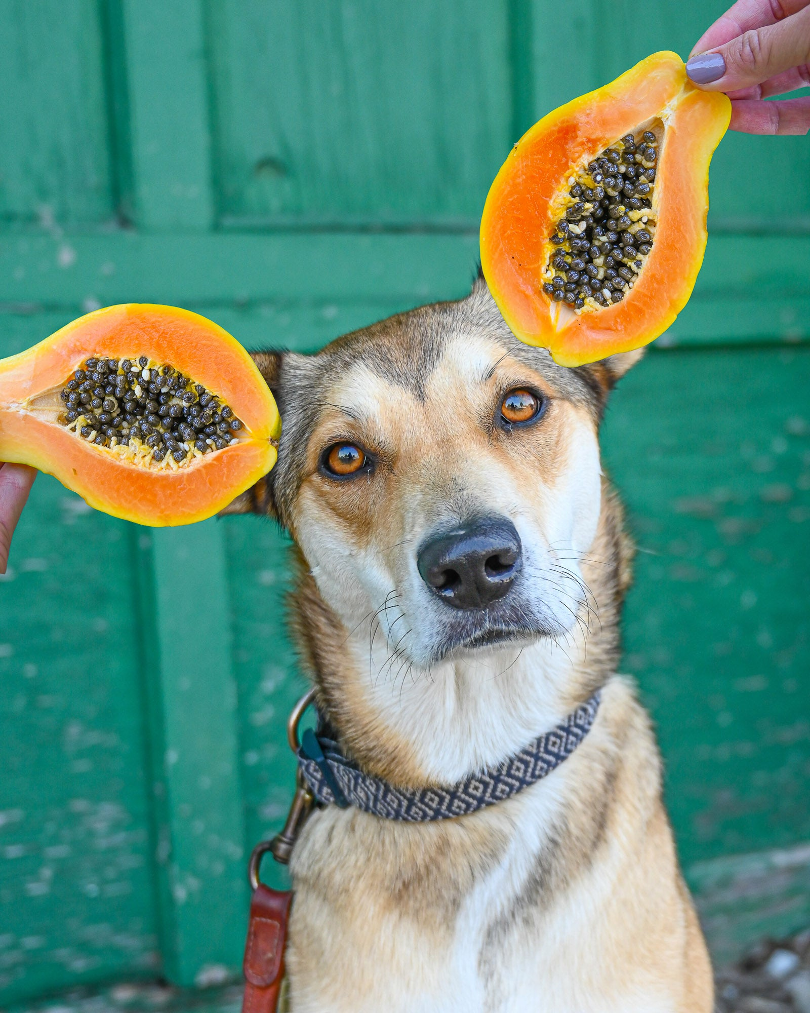 Dog with papaya