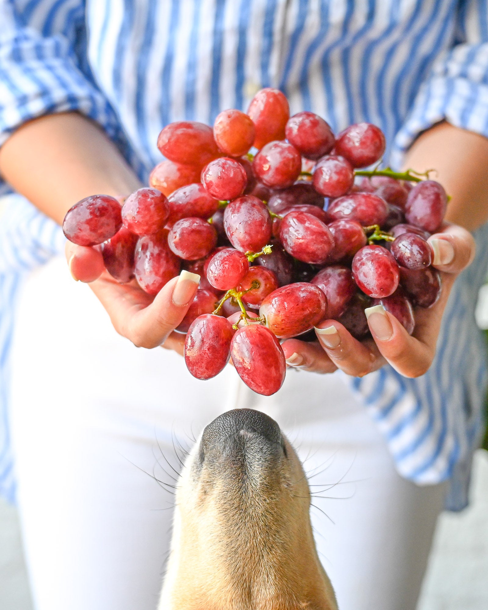 What to do if your dog eats grapes