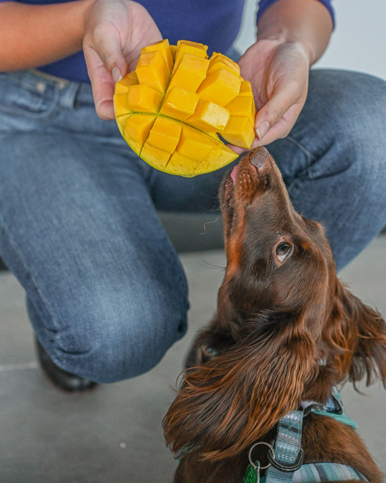 Feeding Mango to Dogs