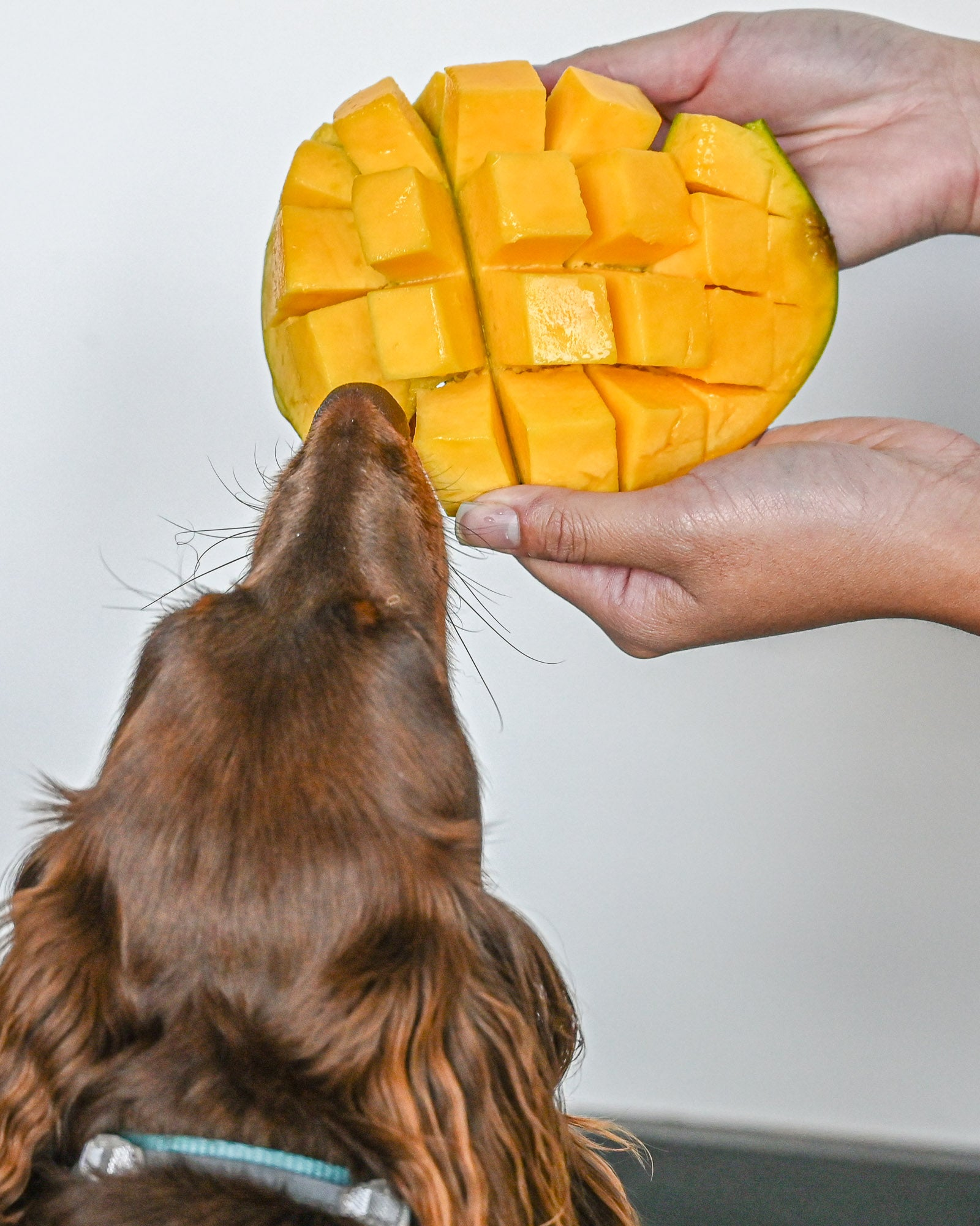 Dog eating mango