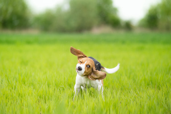 dog allergy testing: Dog shaking its head while outdoors