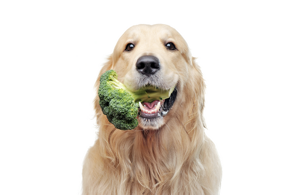 can dogs eat broccoli: Dog with broccoli in its mouth