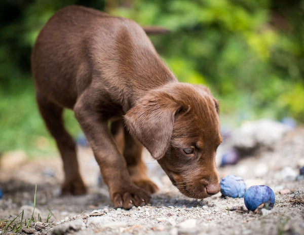 can dogs eat plums: Dog sniffing plums on the ground