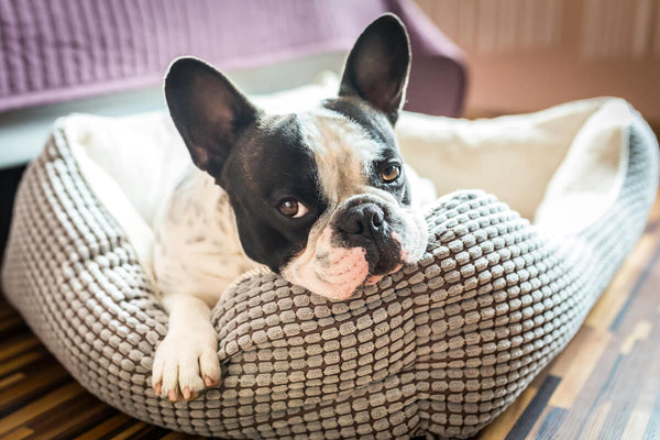 French Bulldog lying on her bed