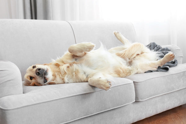Calming treats for dogs: Golden Retriever laying comfortably on a sofa