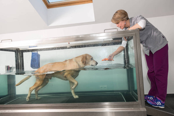 dog joint pain: woman guiding a dog undergoing hydrotherapy