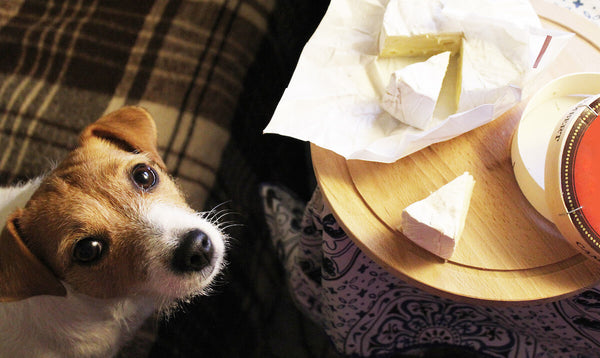 Can dogs eat cheese: Jack Russell begging for cheese
