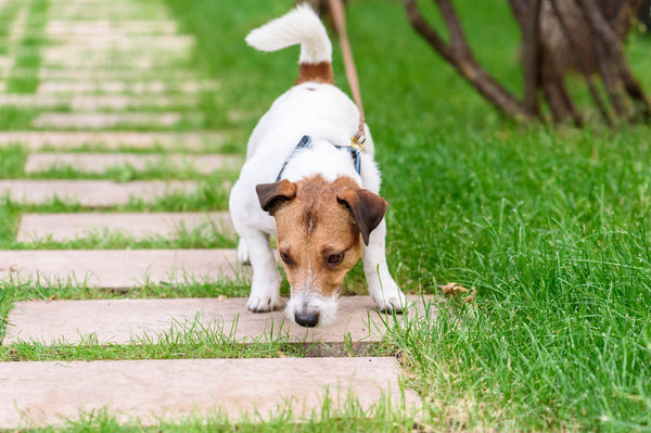 Dog teeth chattering: Jack Russell sniffing the ground