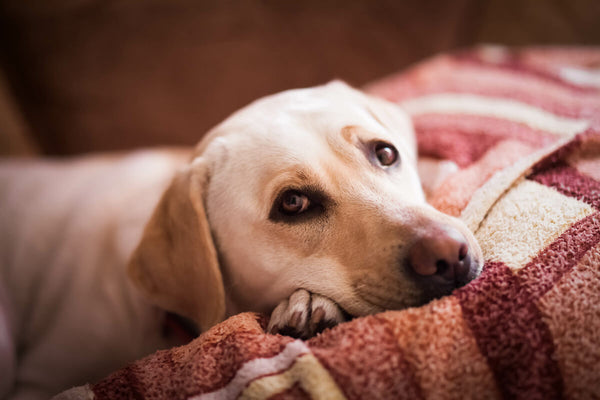 Dog throwing up yellow: Labrador resting on a couch