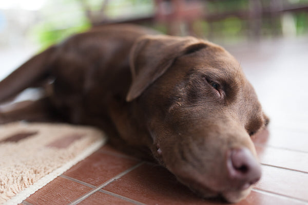 How heavy should my dog be: brown Labrador sleeping on the floor
