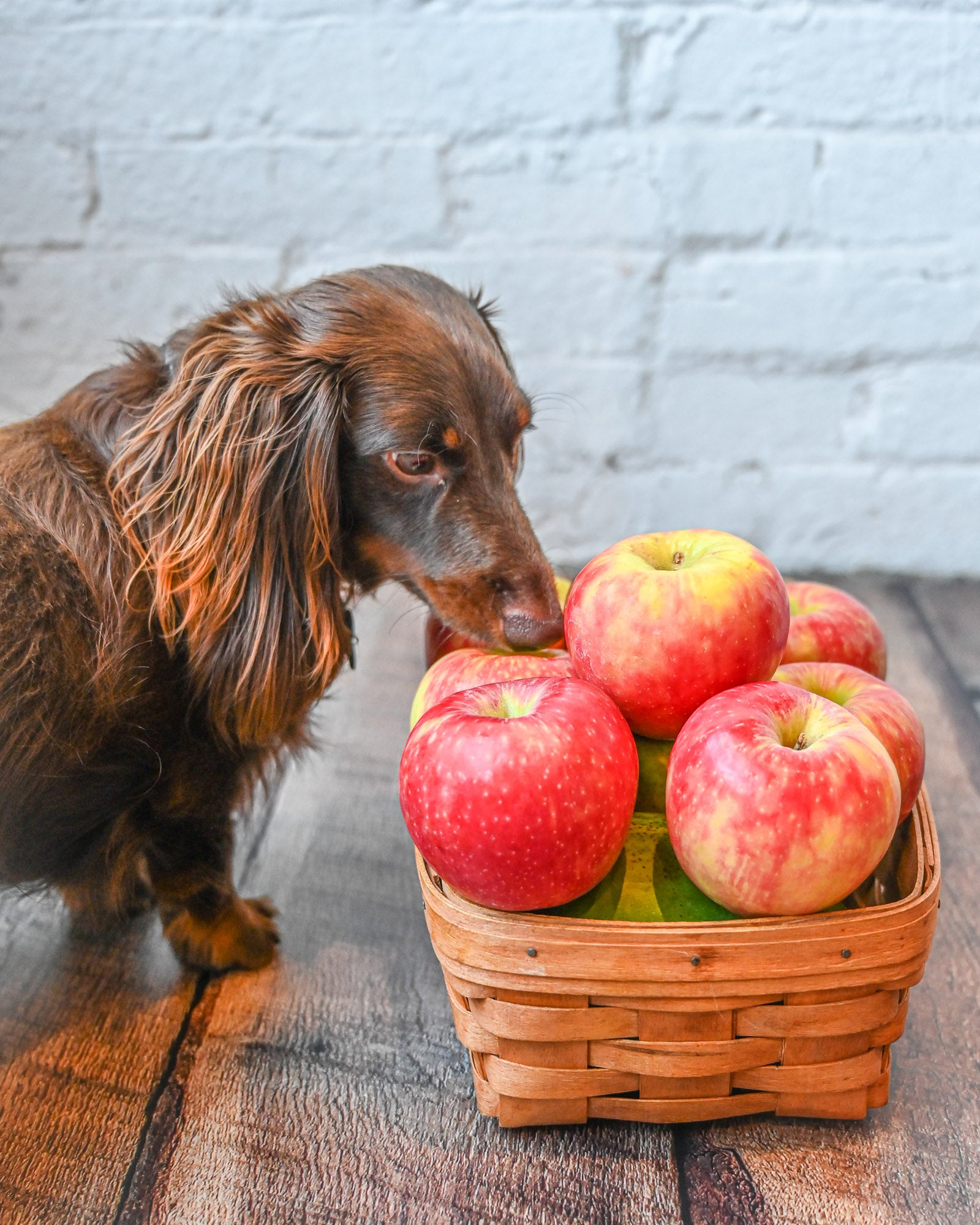 Dog with apples