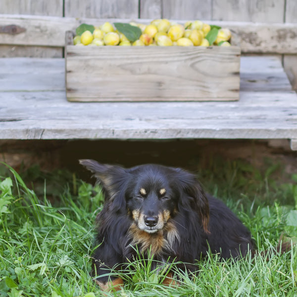 can dogs eat plums: Squinting dog with a crate of plums behind it