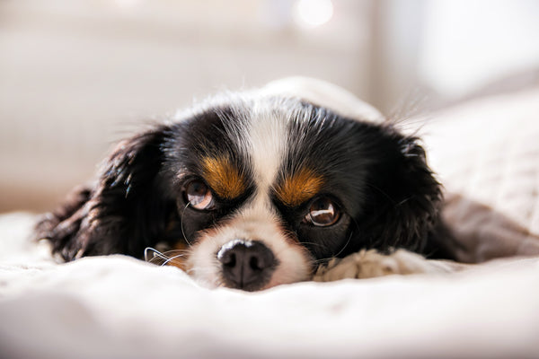 Signs and symptoms of pancreatitis in dogs