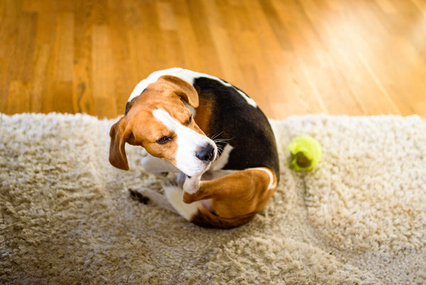 why is my dog so itchy: Beagle biting its own paw