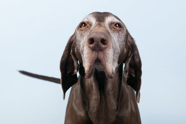 glucosamine for dogs: old dog