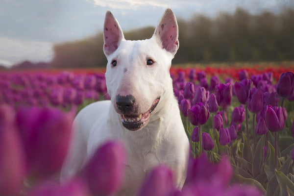 dog licking air: bull terrier in a field of tulips