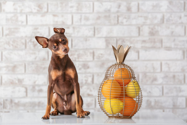 Can dogs eat oranges: chihuahua next to oranges