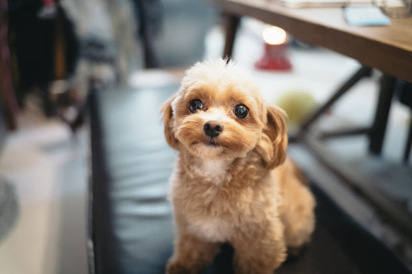Fiber for dogs: cute, little, brown dog sitting on a bench