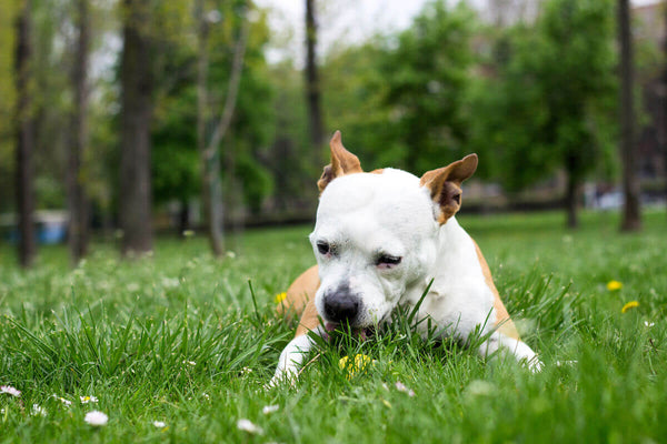Why do dogs eat grass: dog laying on the grass and eating it