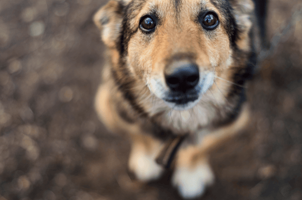 natural pain relief for dogs: dog looking up at the camera