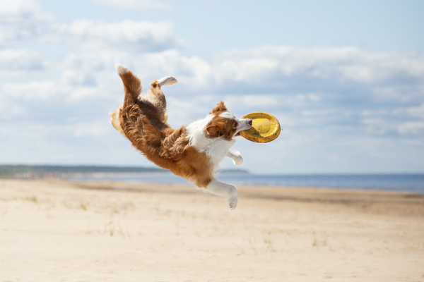 glucosamine for dogs: dog playing in the beach