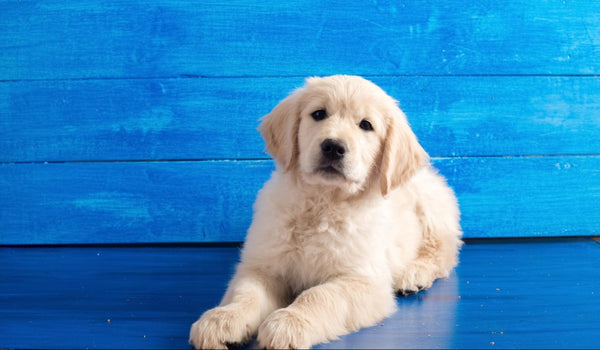 dog hiccups: Dog lying in the floor against a blue background