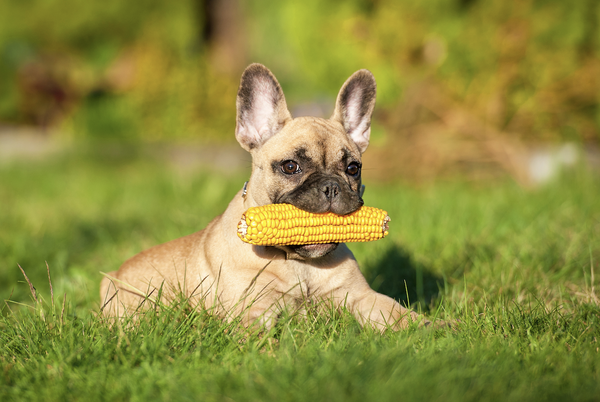 can dogs eat corn: Dog sitting in a field while biting a corn on the cob