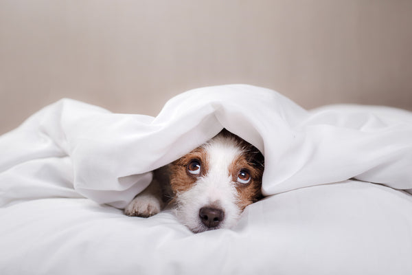 Cute Jack Russell Terrier under a white blanket