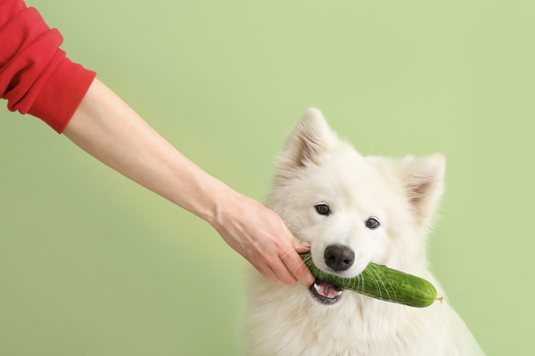 can dogs eat cucumber: man giving his dog a cucumber