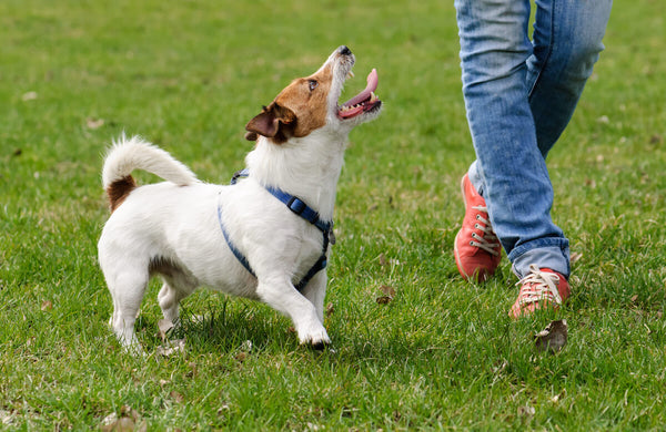 Focused Jack Russell walking beside a person