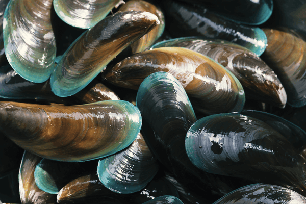 several green-lipped mussels